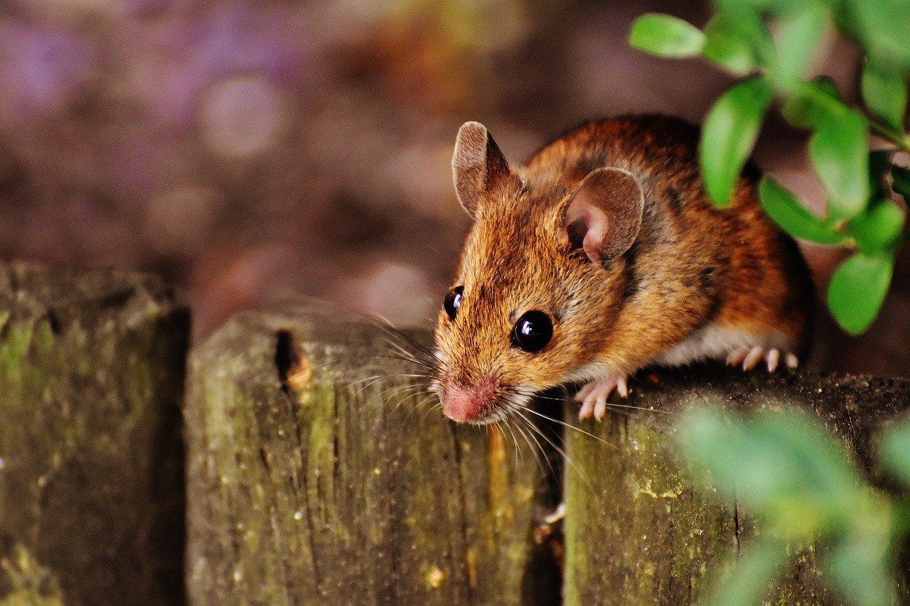 You are currently viewing כמה עולה הדברת עכברים ובמה זה תלוי?
